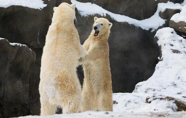 Picture winter, snow, rocks, the game, predators, fight, fight, pair, zoo, polar bears, polar bears