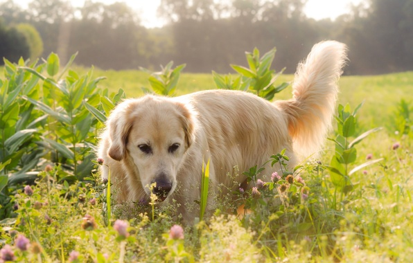 Picture field, light, flowers, Dog, Labrador