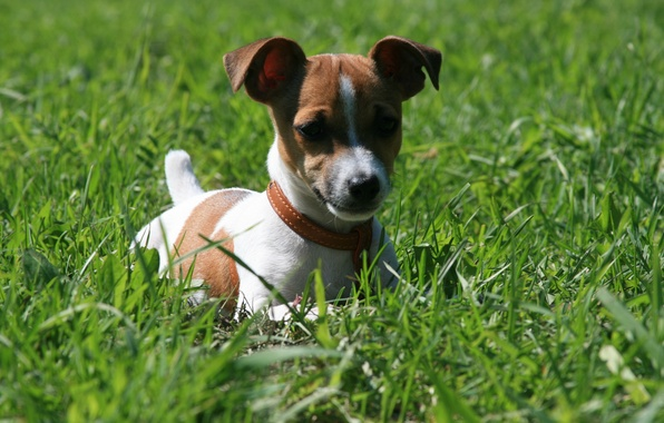 Picture dogs, grass, the sun, joy, smile, mood, the game, morning, walk, Jack Russell Terrier