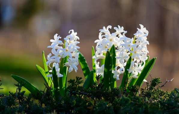 Picture white, bokeh, hyacinths