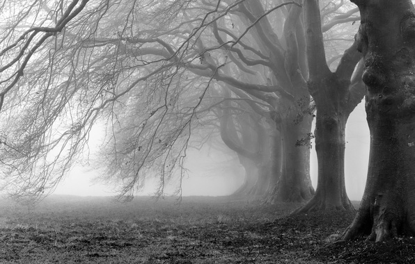 Picture trees, branches, fog, photo, background, branch, Wallpaper, white, black, wallpapers