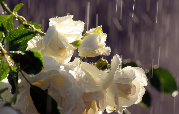 Picture water, drops, rain, roses, bouquet, white, buds
