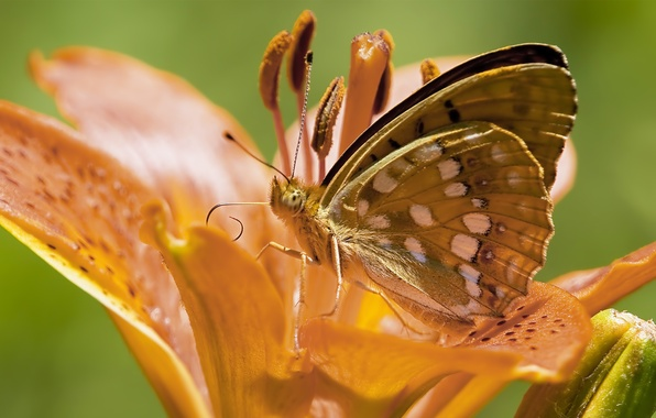 Picture flower, butterfly, Lily, orange, antennae