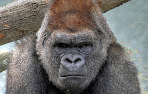 Picture animal, monkey, Gorilla, strict