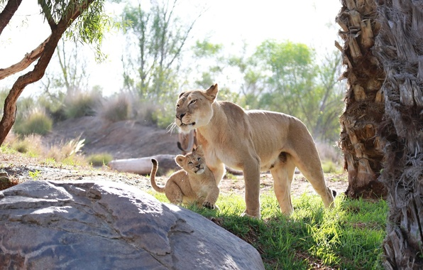Picture predators, baby, family, pair, cub, wild cats, lions, lioness, care, lion, mother, motherhood