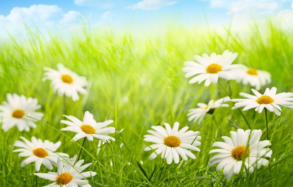 Picture the sky, clouds, nature, chamomile, grass, weed, flowers, sky, nature, flowers, clouds, chamomile