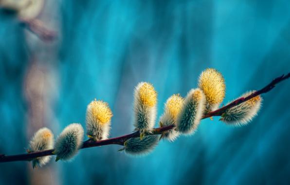 Picture branch, spring, Verba, seals