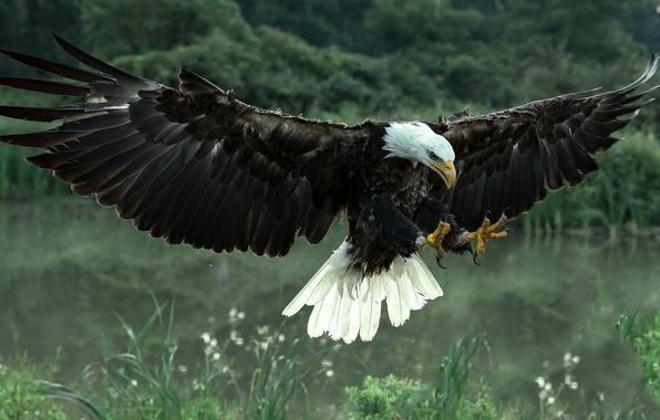 Picture bird, wings, predator, hawk, Bald eagle