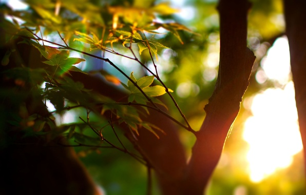 Picture greens, summer, leaves, the sun, macro, rays, light, trees, tree, mood, foliage, focus, trunk, leaves, …