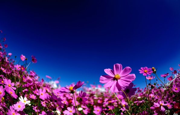 Picture summer, the sky, flowers, pink, kosmeya
