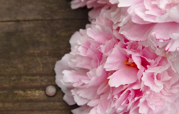 Picture macro, flowers, pink, peonies