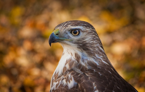 Picture look, background, bird, profile, bird, Hawk, bokeh, bokeh, hawk
