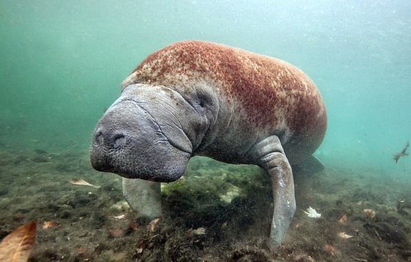 Picture manatee, sea cow, Florida, Crystal River, West Indian Manatee