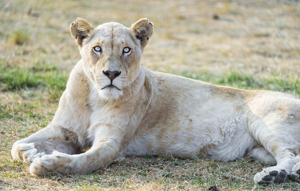 White Lioness With Blue Eyes | www.pixshark.com - Images ...