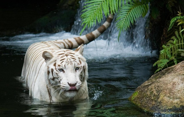 Picture cat, tiger, white tiger, tiger, white tiger
