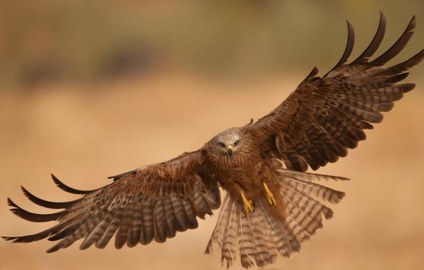 Picture flight, bird, eagle, wings, predator