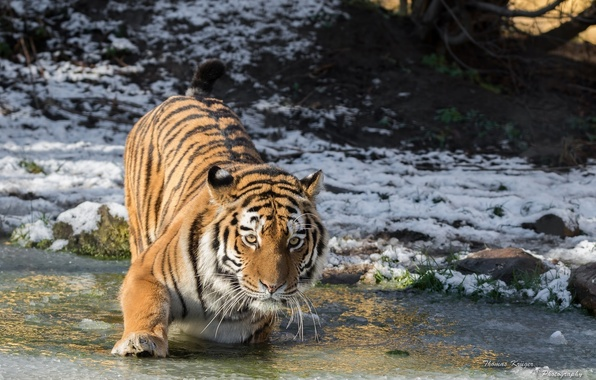 Picture cold, winter, face, snow, paw, ice, predator, wild cat, pond, the Amur tiger