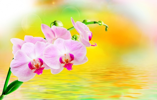 Picture water, glare, background, branch, pink, orchids, flowers, closeup