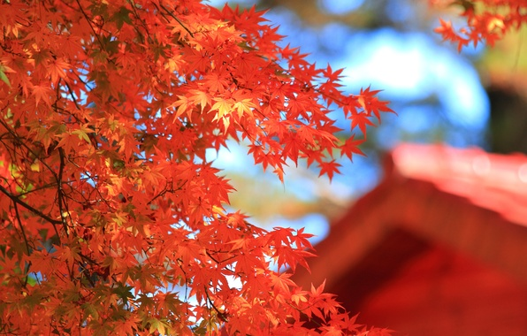 Picture roof, autumn, leaves, macro, house, tree, blur, red, maple, crown