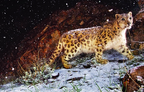Picture grass, look, snow, night, stone, picture, leopard, beast