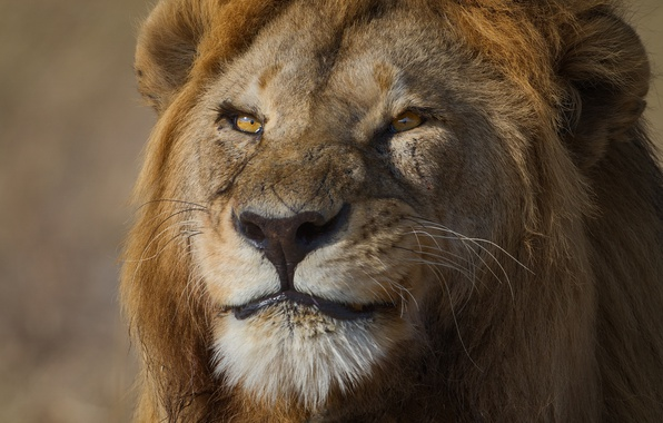 Picture cat, smile, Leo, large