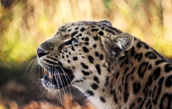 Picture mustache, look, face, predator, leopard