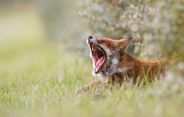 Picture grass, nature, morning, mouth, Fox