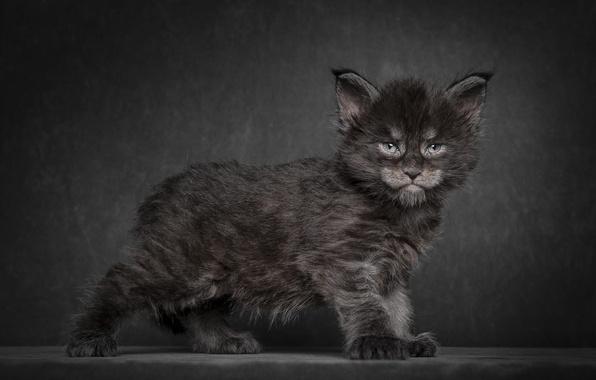 Picture cat, kitty, background, black, Maine Coon