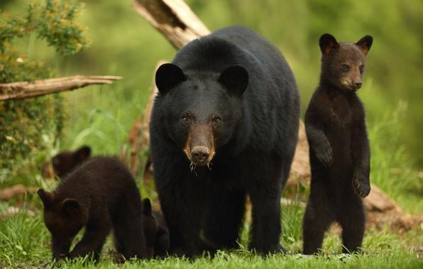 Picture bears, bears, stand, bear, black bear, Baribal