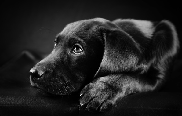 Picture photo, black, white, dog, Labrador, black