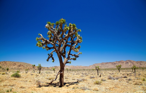 Picture the sky, desert, sky, Joshua Tree, Joshua tree, joshua tree national park, desert, trees