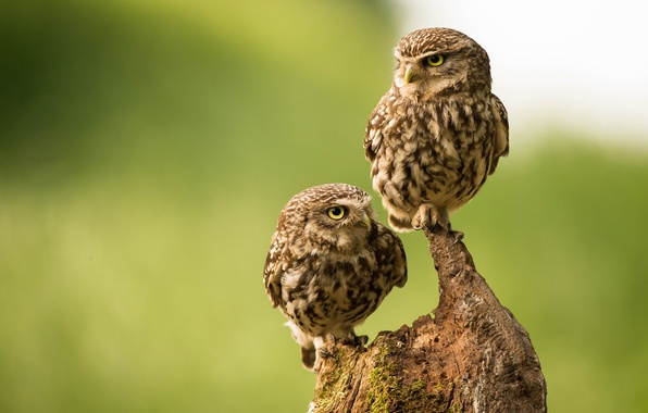 Picture birds, snag, owls, a couple, owls, The little owl
