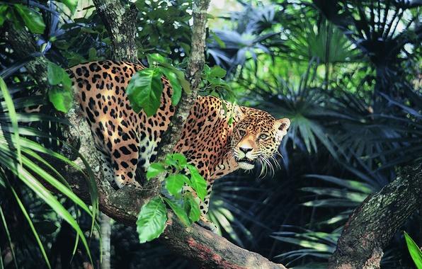 Picture look, jungle, Jaguar, sunlight