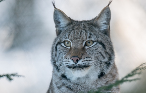 Picture face, portrait, predator, lynx, wild cat, (c) P. Meyer