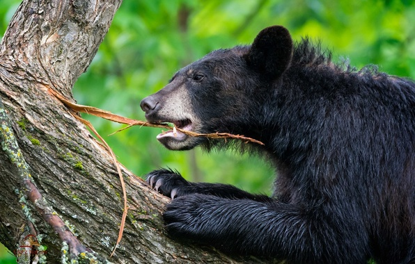 Picture tree, the game, bear, trunk, bark