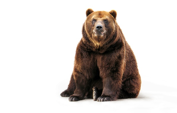 Picture face, paws, wool, bear, white background, sitting, brown