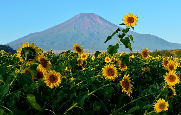 Photo wallpaper field, the sky, flowers, mountain, sunflower, Japan, Fuji