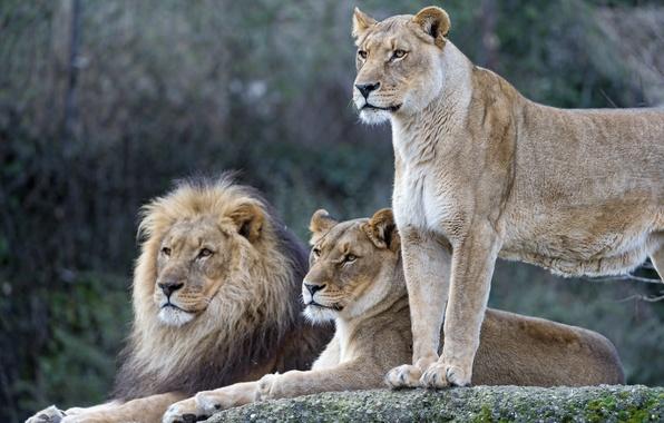 Picture cats, Leo, family, lions, lioness, ©Tambako The Jaguar