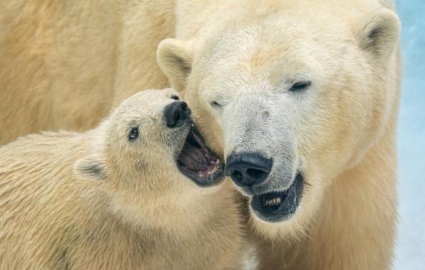 Picture bears, bear, polar bears, bear, polar bears