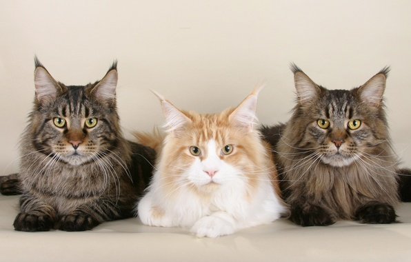 Picture mustache, cats, Wallpaper, pussy, wallpaper, muzzle, Kote, Maine Coon