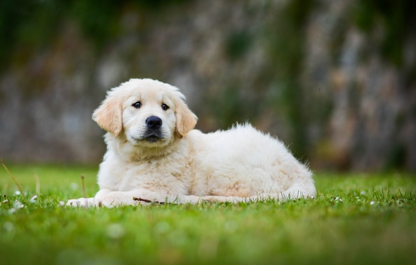 Picture dog, puppy, bokeh, Golden Retriever, Golden Retriever