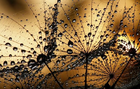 Picture macro, sunset, Rosa, dandelion, water drops