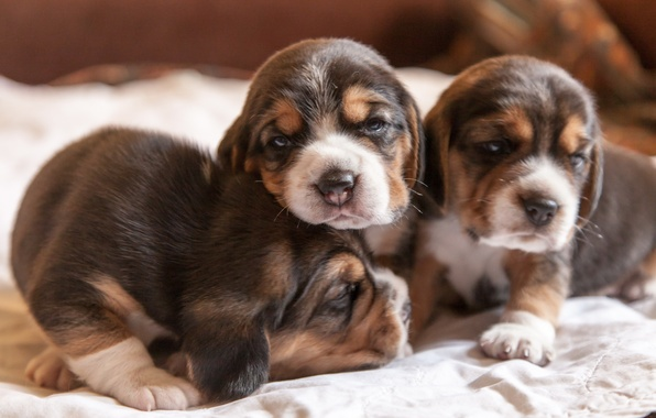 Picture dogs, comfort, house, puppies, beagles