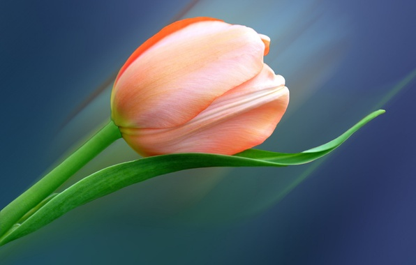 Picture flower, sheet, Tulip, petals