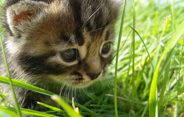 Picture grass, the, cat, baby