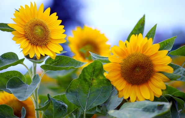 Picture summer, leaves, macro, sunflowers, flowers, yellow