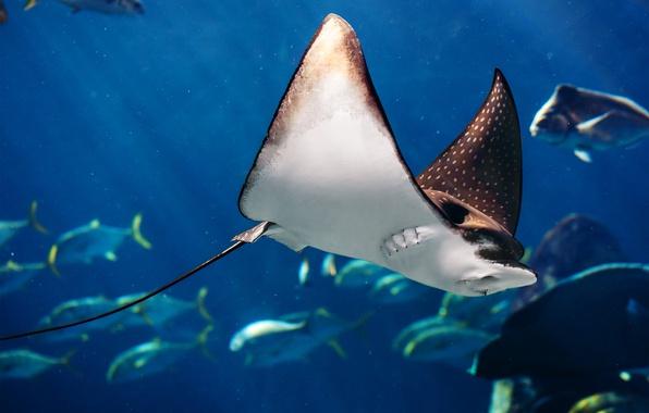 Picture sea, ocean, fish, Manta birostris, sea life