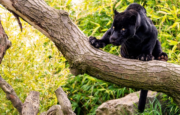 Picture forest, cat, tree, stone, Panther, black Jaguar