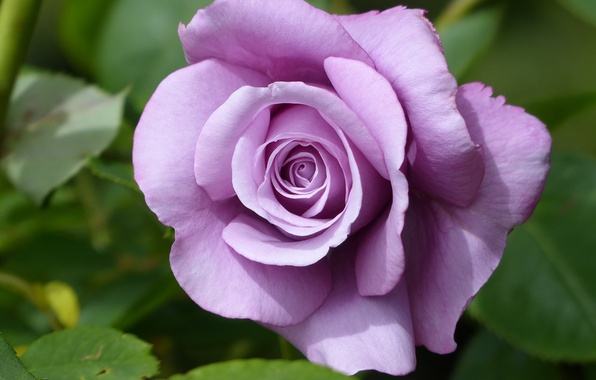 Picture macro, rose, Bud, lilac