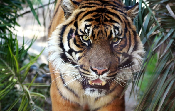 Picture tiger, sumatran, tiger